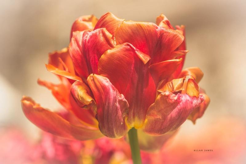 Tulip-Macro-photographer-Cardiff